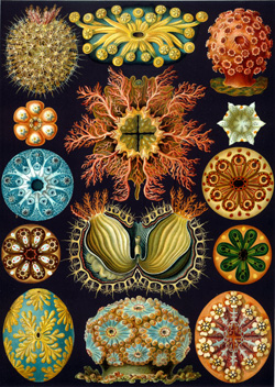 Haeckel Ascidiae Morphic Resonance & Morphic Fields: Collective Memory & the Habits of Nature